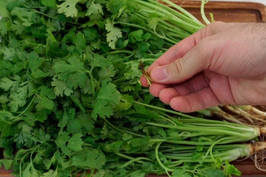 conservar-cilantro-por-mucho-tiempo